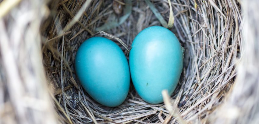 blue-eggs-nest-hustle